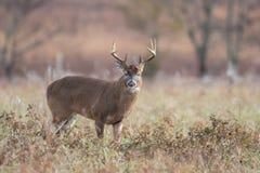 Vit-tailed hjortbock i öppen äng royaltyfri fotografi