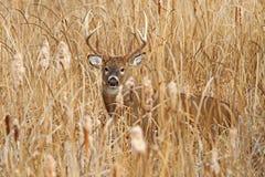 Vit-tailed hjortbock i brunst Fotografering för Bildbyråer