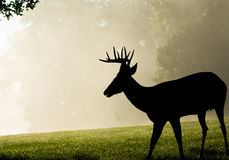 Vit-tailed hjortbock på dimmig morgon Arkivfoton