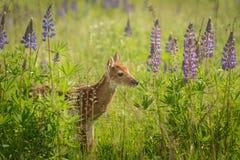 Vit-Tailed hjortFawn Odocoileus virginianus i lupinlapp L Royaltyfri Bild