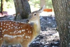 Vit-Tailed hjortOdocoileusvirginianus Fawn Stands Arkivfoto