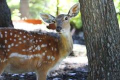 Vit-Tailed hjortOdocoileusvirginianus Fawn Stands Royaltyfria Foton