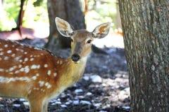 Vit-Tailed hjortOdocoileusvirginianus Fawn Stands Royaltyfri Bild