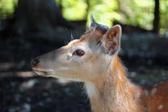 Vit-Tailed hjortOdocoileusvirginianus Fawn Stands Royaltyfri Foto