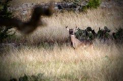 Vit-tailed hjorttrofébock Arkivfoton