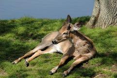 Vit tailed reclining för hjortar Arkivbild