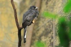 Vit-tailed Trogon Fotografering för Bildbyråer