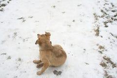Vit terrier Arkivfoto