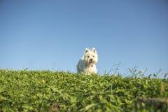 Vit terrier för västra högland mycket bra se Arkivbilder