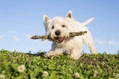 Vit terrier för västra högland mycket bra se Royaltyfria Bilder