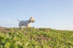 Vit terrier för västra högland mycket bra se Royaltyfri Fotografi