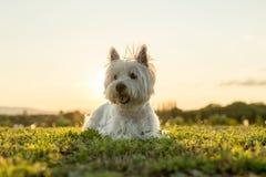 Vit terrier för västra högland mycket bra se Royaltyfria Foton