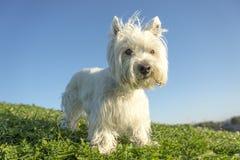 Vit terrier för västra högland mycket bra se Arkivbild