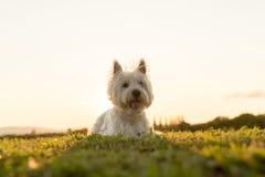 Vit terrier för västra högland mycket bra se Fotografering för Bildbyråer