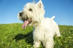 Vit terrier för västra högland mycket bra se Arkivfoto