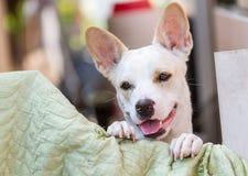 Vit thailändsk hund Royaltyfri Bild