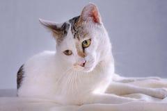 Vit thail?ndsk katt som ?r lyckligt ligga p? en vit bordduk arkivbild