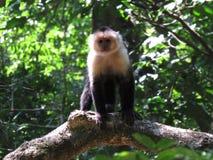 Vit Throated Capuchin arkivbilder