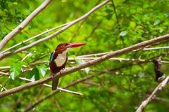 Vit-throated Kingfisherfågel Arkivbilder