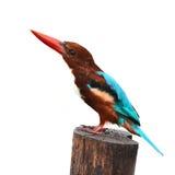 Vit-throated Kingfisherfågel Royaltyfria Foton