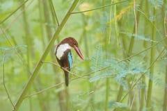 Vit-throated kungsfiskare för härlig fågel Royaltyfri Bild