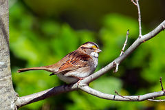 Vit-Throated Sparrow Arkivbilder