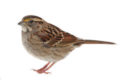 Vit-throated Sparrow Royaltyfri Fotografi