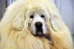 Vit tibetan mastiff Arkivfoto