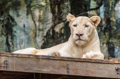 Vit tiger. Royaltyfri Bild