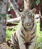 Vit tiger Arkivfoto