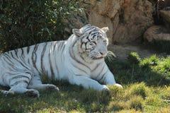 Vit tiger Royaltyfri Fotografi