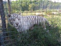 Vit tiger Arkivbild