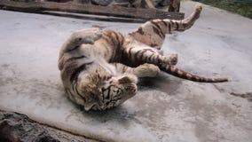 Vit tiger Arkivbilder
