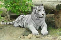 Vit tiger eller blekt tiger Royaltyfri Foto