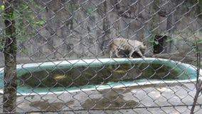 vit tiger för 4K som Bengala wallking bak ett metallingrepp nära av dammet i zoo lager videofilmer