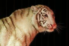 Vit tiger framme av svart bakgrund Arkivbilder