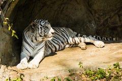 Vit tiger i bangkok Arkivbilder