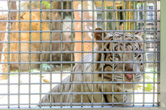Vit tiger i bur Arkivbilder
