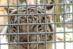Vit tiger i bur Royaltyfri Fotografi
