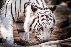 Vit tiger i en bur Arkivbilder