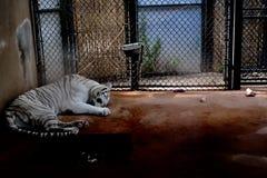 Vit tiger i fångenskap arkivbild