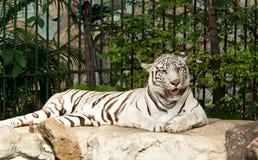 Vit tiger på en rock Royaltyfria Bilder
