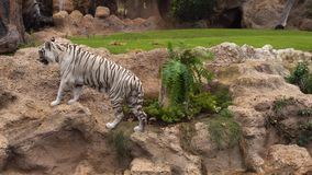 Vit tiger som går i trädgård lager videofilmer