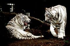 Vit tiger som ser framsidan - till - framsida Royaltyfri Foto