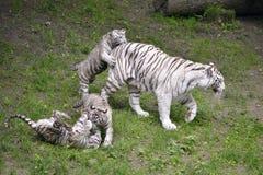 Vit tiger som spelar med dess litet Fotografering för Bildbyråer