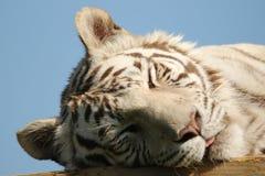 Vit tiger som tycker om värmen av solen Arkivbilder