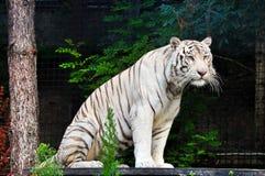 Vit tiger som vilar på zoo Royaltyfri Fotografi