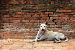 Vit tillf?llig hund som vilar stillhet p? en v?gg f?r r?d tegelsten royaltyfria foton