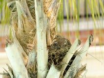 Vit-tippat bygga bo för duva Moder med två fågelungar Arkivfoton