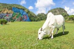 Vit tjur som vilar och betar på äng i Val Vinales Cuba Royaltyfria Foton